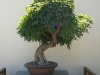 dicker-stamm-bonsai.jpg