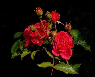 Rosen Zurückschneiden Wann Und Wie Weit : rosenbeschneiden was ist der rosenschnitt die gartenoase ~ A.2002-acura-tl-radio.info Haus und Dekorationen