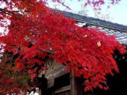 japanischer ahorn wunderbare farben im herbst die. Black Bedroom Furniture Sets. Home Design Ideas