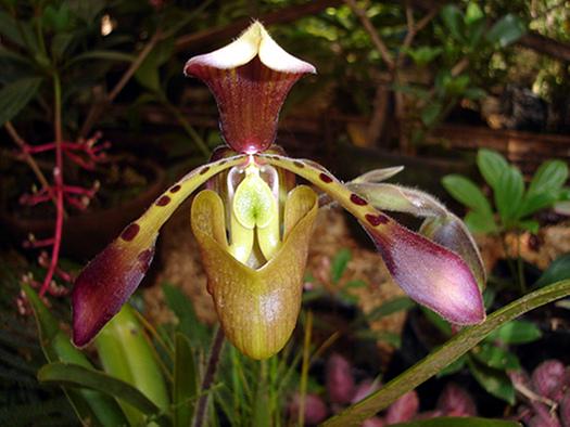 Frauenschuh paphiopedilum orchidee des jahres 2010