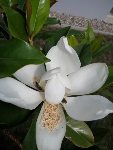 magnolia grandiflora schneewei in texas die gartenoase. Black Bedroom Furniture Sets. Home Design Ideas