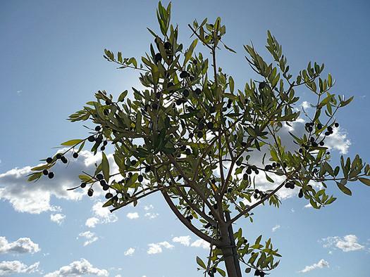 olivenbaum kultivierung in europ ischen g rten die gartenoase. Black Bedroom Furniture Sets. Home Design Ideas