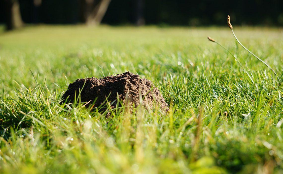 Maulwurf im Garten bekämpfen