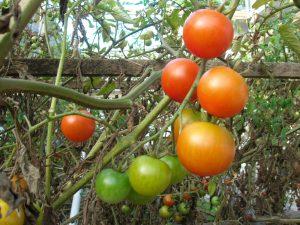 Inhalt des Artikels ist der Eigenanbau von Tomaten.