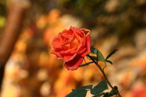 Artikelgebend ist die Rose als Heilpflanze.