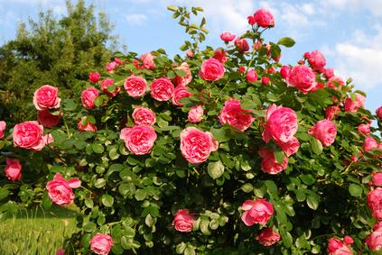 Artikelgebend sind Rosenpflanzungen im Herbst.