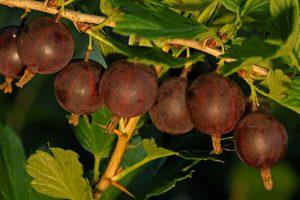 Artikelgebend ist die Mischfrucht der Jostabeere.