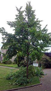 So sieht der Jungbaum nach einem professionellen Baumschnitt aus. Foto: djd/RAL Gütegemeinschaft Baumpflege e.V.