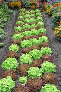Salat wird in vielen Gärten angebaut. Zur Stärkung der Pflanzen und als Schutz gegen Schnecken können Hobbygärtner Pflege- und Düngeprodukte mit effektiven Mikroorganismen einsetzen. Foto: djd/www.emiko.de/HarryGR20 - Fotolia