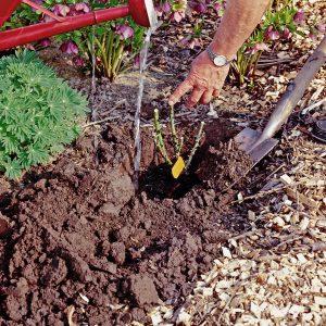 Das Pflanzloch wird ausreichend groß ausgehoben, der Boden aufgelockert und mit reichlich gutem Kompost vermischt. Foto: djd/www.rosen-tantau.com