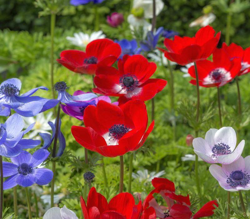 Sommersträuße aus eigenem Garten Knollen und Zwiebeln im Frühling pflanzen