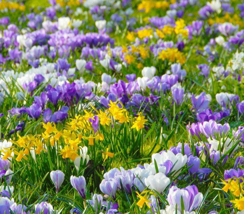 Zwiebelblumen feiern einen farbenfrohen Vorfrühling Blütenteppiche mit Krokus und Co.