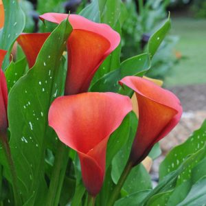 Von wegen Zimmercalla Knollen im Frühling in den Garten pflanzen!